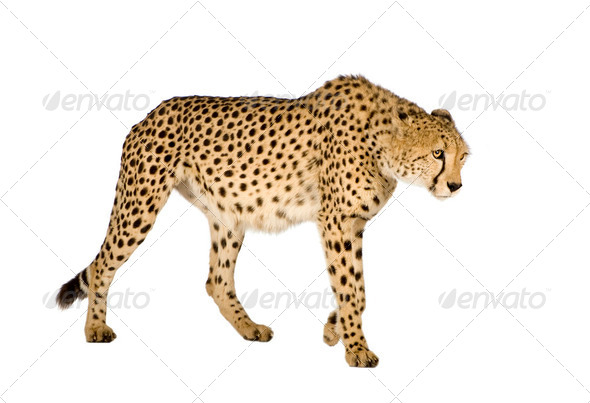 Cheetah - Acinonyx jubatus - Stock Photo - Images