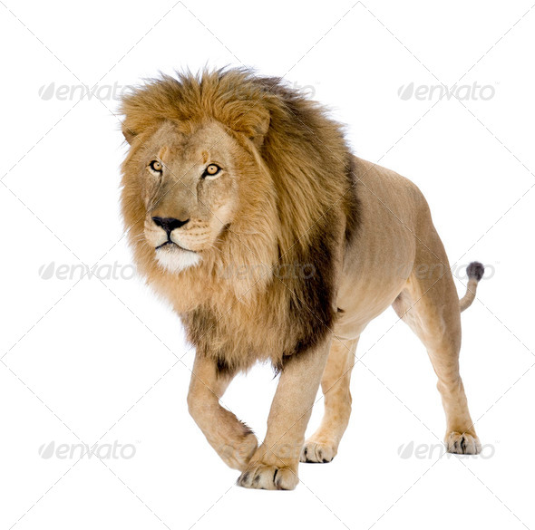 Lion (8 years) - Panthera leo - Stock Photo - Images