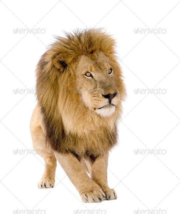 Lion (8 years) - Panthera leo - Stock Photo - Images