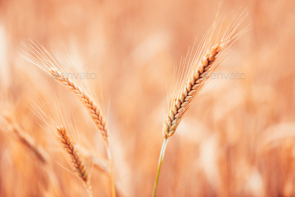 Ripe barley ears in field, selective focus - Stock Photo - Images