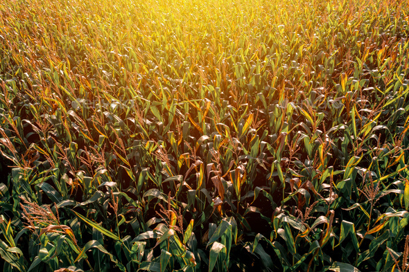 Diminishing perspective aerial view of green corn field in summer sunset - Stock Photo - Images