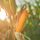 Ear of corn in the field - PhotoDune Item for Sale
