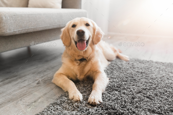 Portrait of cute healthy dog lying on the floor carpet - Stock Photo - Images