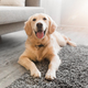 Portrait of cute healthy dog lying on the floor carpet - PhotoDune Item for Sale