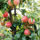 Seasonal great harvest at garden at summer or autumn. Ripe, juicy red organic apples on tree - PhotoDune Item for Sale