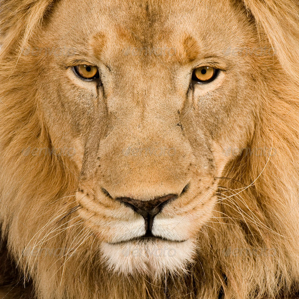 Close-up on a Lion's head (4 and a half years) - Panthera leo - Stock Photo - Images