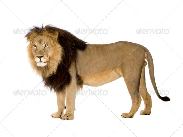 Lion (4 and a half years) - Panthera leo - Stock Photo - Images