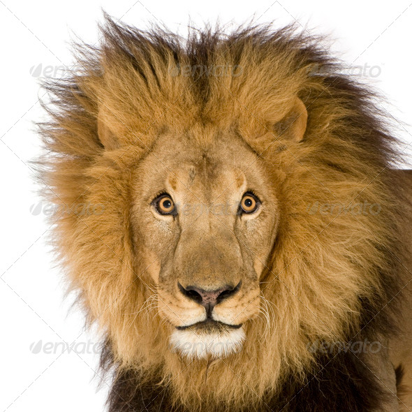 Close-up on a Lion's head (8 years) - Panthera leo - Stock Photo - Images