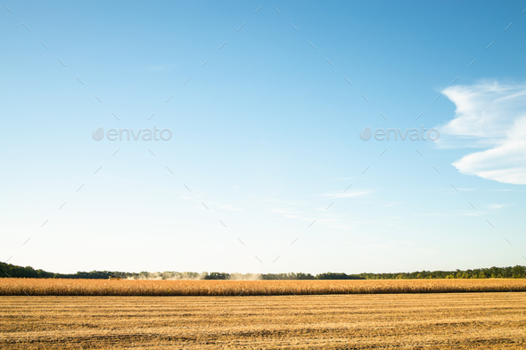 Cornfield Harvesting. - Stock Photo - Images