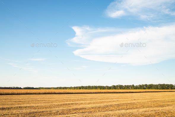 Summer Cornfield Harvesting. - Stock Photo - Images