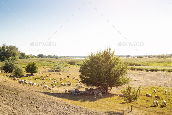 Flock of Sheep on Grassland. - Stock Photo - Images