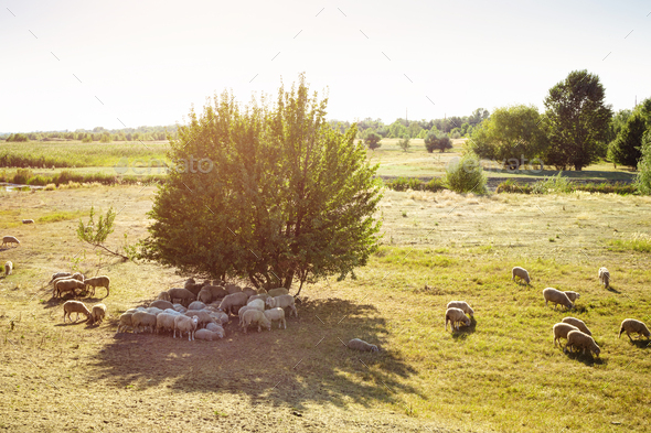 Farmland with Flock of Sheep. - Stock Photo - Images