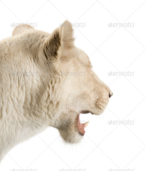 white Lioness (8 years) - Panthera leo - Stock Photo - Images