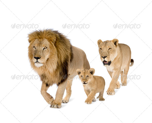 Lion's family - Stock Photo - Images