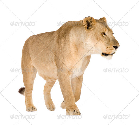 Lioness (8 years) - Panthera leo - Stock Photo - Images