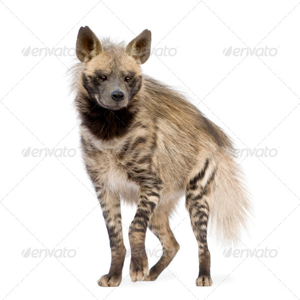 Striped Hyena - Hyaena hyaena - Stock Photo - Images