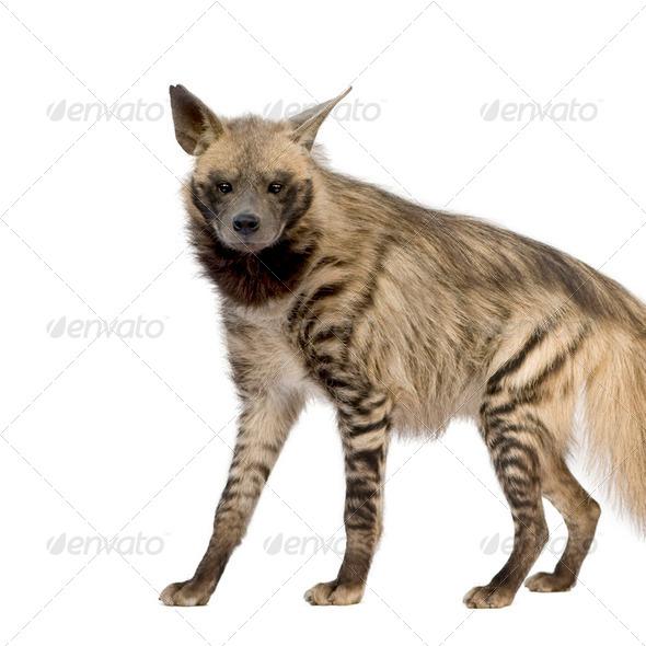 Striped Hyena - Hyaena hyaena - Stock Photo - Images