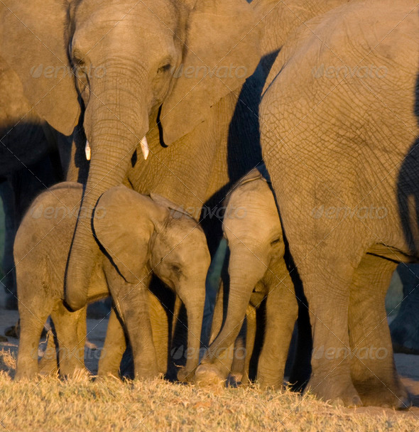 elephant calf - Stock Photo - Images