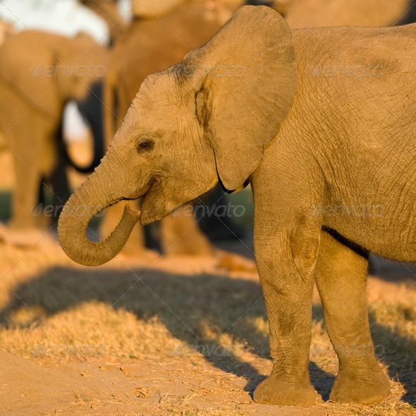 elephant calf - Stock Photo - Images