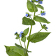 Whole fresh twig of  Anchusa plant with blue flowers - PhotoDune Item for Sale