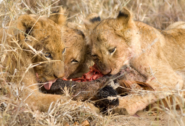 pride of lion eating - Stock Photo - Images