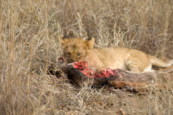 lion cub eating - Stock Photo - Images