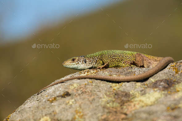 Inactive european green lizard with long tail sunbathing in summer nature - Stock Photo - Images