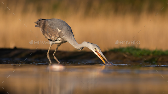 Grey heron stretching neck and taking a fish out of water during morning hunt - Stock Photo - Images