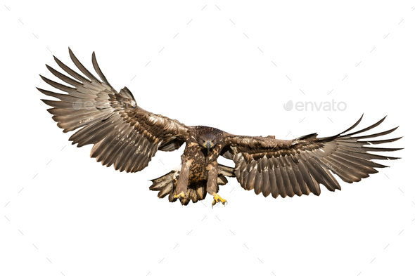 White-tailed eagle hunting in the air cut out on blank - Stock Photo - Images