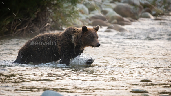 Brown bear crossing the river in autumn morning nature - Stock Photo - Images
