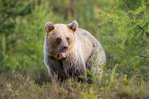 Young brown bear standing on meadow in summer nature - Stock Photo - Images