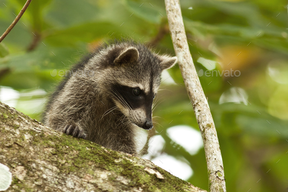 Young raccoon hiding on a branch of a tree and observing with interest - Stock Photo - Images