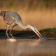 Grey heron stretching neck and taking a fish out of water during morning hunt - PhotoDune Item for Sale