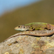 Inactive european green lizard with long tail sunbathing in summer nature - PhotoDune Item for Sale