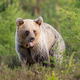 Young brown bear standing on meadow in summer nature - PhotoDune Item for Sale