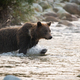 Brown bear crossing the river in autumn morning nature - PhotoDune Item for Sale