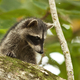 Young raccoon hiding on a branch of a tree and observing with interest - PhotoDune Item for Sale