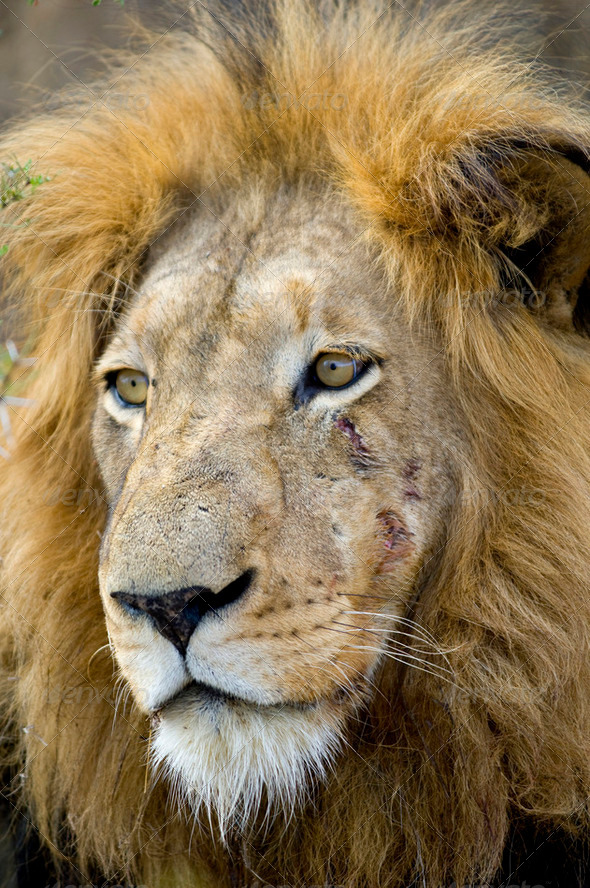 Lion's head - Stock Photo - Images