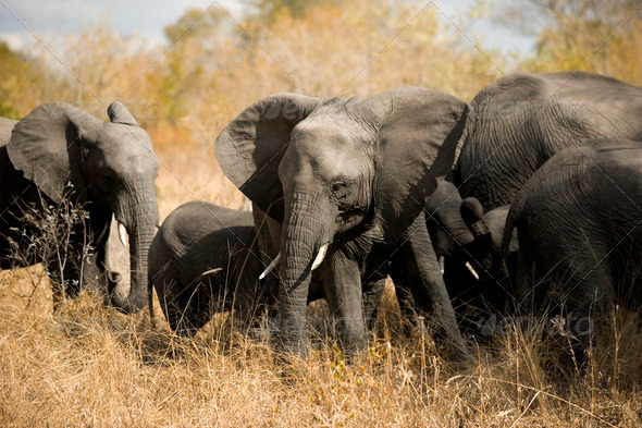 herd of elephants - Stock Photo - Images