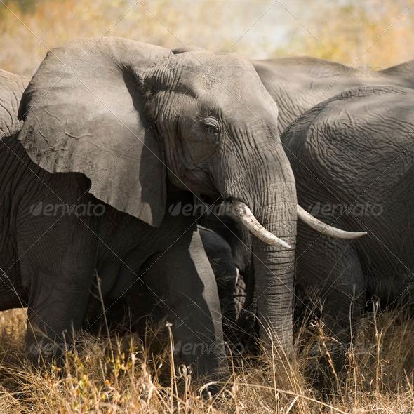 herd of elephants - Stock Photo - Images