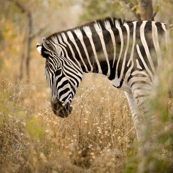 Zebra in the bush - Stock Photo - Images