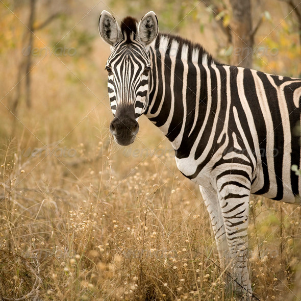Zebra in the bush - Stock Photo - Images