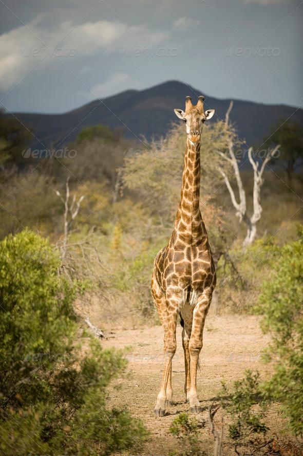 giraffe - Stock Photo - Images