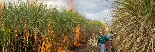 Sugarcane field - Stock Photo - Images
