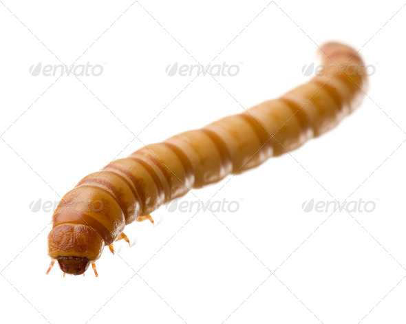 Larva of Mealworm - Tenebrio molitor - Stock Photo - Images