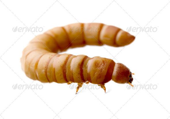 Larva of Mealworm - Tenebrio molitor - Stock Photo - Images