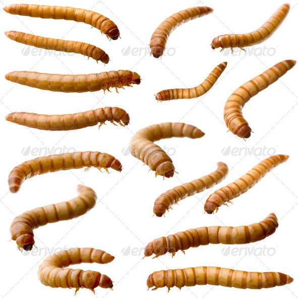 16 Larva of Mealworm - Tenebrio molitor - Stock Photo - Images