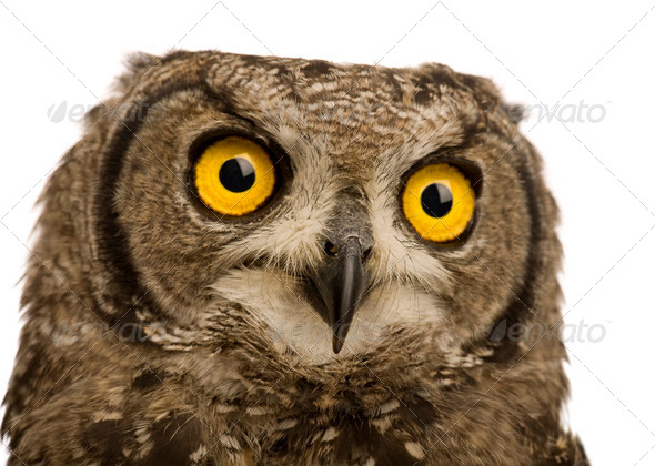 Spotted Eagle-owl - Bubo africanus (8 months) - Stock Photo - Images