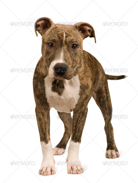 American Staffordshire terrier puppy (5 months) - Stock Photo - Images