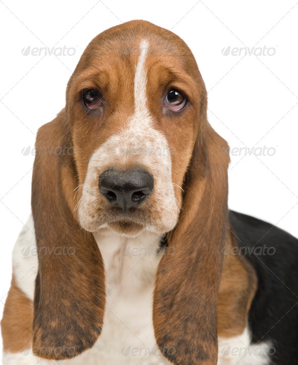 Basset Hound (3 months) - hush puppy - Stock Photo - Images